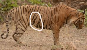 tiger t 25 dollar photos identification and sightings