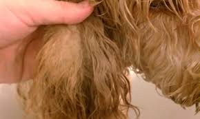 how to cut a goldendoodles hair goldendoodle the emma and remy show