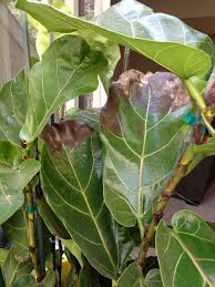 fiddle leaf fig ficus fungus or root rot signs
