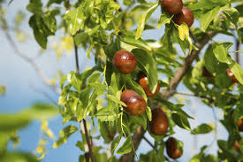backyard garden with jujube tree growing jujube trees in your