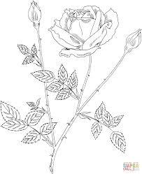 drawn plant rose bush pencil and in color drawn plant rose bush