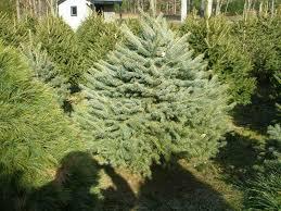 new york among nation u0027s top christmas tree producers wbfo