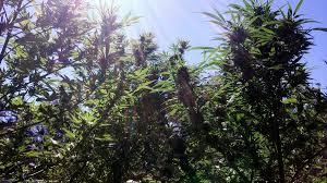 most efficient grow light cannabis grow light breakdown heat cost yields grow weed easy