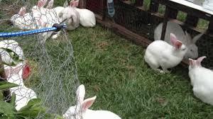 rabbit cross breed versus purebred the advantage of hybrid vigor
