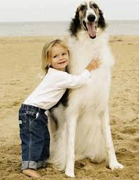 afghan hound mandarin 1967 best creatures images on pinterest russian wolfhound