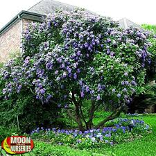 Texas Landscape Plants by Texas Mountain Laurel Landscaping Gardening Pinterest