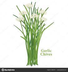 erba cipollina in vaso erba cipollina aglio erba â vettoriali stock â casejustin 144901617