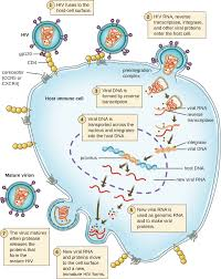 the viral life cycle microbiology