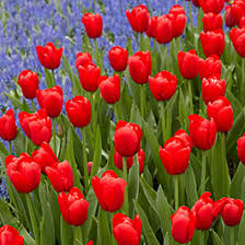 tulips flowers tulip flower bulbs tulipa american