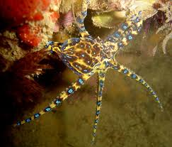 home blue ringed octopus