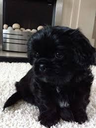 affenpinscher dogs for sale best 25 shih tzu dog ideas on pinterest shih tzu shih tzu