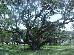 the goose island oak aka the big tree aka the bishop s tree aka