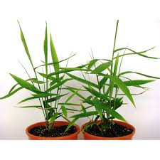 175mm thysanolaena maxima tiger grass i n 3593237 bunnings