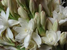 Which Jasmine Plant Is Most Fragrant - scented garden how to grow tuberose bois de jasmin