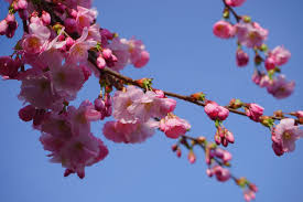 Trees With Pink Flowers Free Images Tree Branch Plant Fruit Flower Petal Bloom