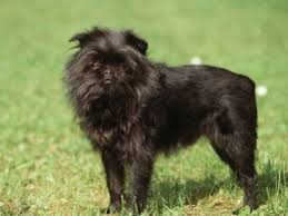 affenpinscher adoption affenpinscher dogs and puppies for adoption in the uk pets4homes
