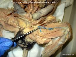 Sheep Brain Anatomy Game Cat Virtual Dissection Vessels Anatomy Corner