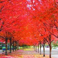 aliexpress buy 100 true japanese maple tree seeds
