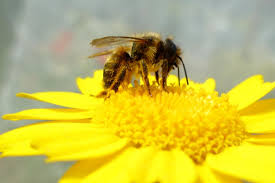 change threatens domestic bee species