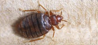 How To Check For Bed Bugs At Home Ipm Action Plan For Bed Bugs Extension