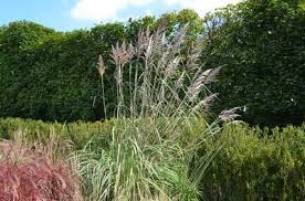 saccharum ravenna ornamental plume grass from fort pond plants