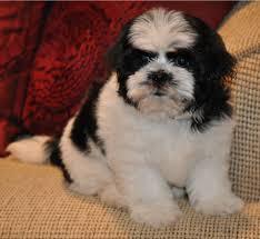 shichon haircuts bichon frise puppies in minnesota experienced breeders of bichon