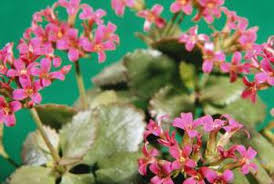 Identify Flowers - how to identify kalanchoes home guides sf gate