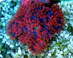 anemone ibluewater