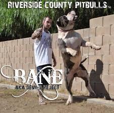 american pitbull terrier puppies louisiana blue pitbull breeders in california riverside county pitbulls