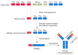 heavy chain light chain profiling mouse b cell receptors with smart technology