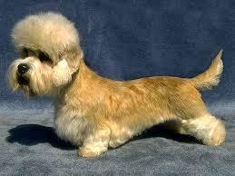 grooming a bedlington terrier puppy dandie dinmont terrier puppies dandie philippines dandie dinmont