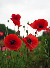 poppies flowers poppies flowers best 25 poppy flowers ideas on poppies