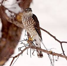 South Dakota birds images Cooper 39 s hawk identification all about birds cornell lab of jpg