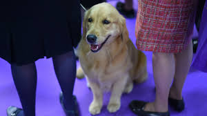 afghan hound westminster adorable photos of dogs at the 2017 westminster dog show other