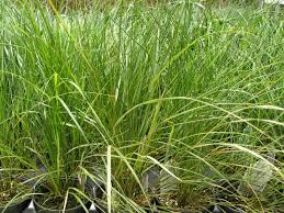 parks brothers farm wholesale plants stipa sirocco grass