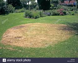 brown patch on lawn after removing the remains of a naturalized