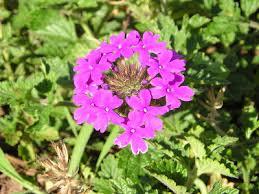 Verbena Flower What U0027s Not To Like About U0027homestead Purple U0027 Verbena Growing The