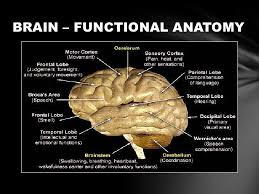 Anatomy Of The Brain And Functions Brodmann U0027s Areas Of The Cerebral Cortex