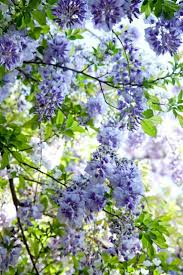 wisteria sinensis australian bush flower 165 best wisteria images on pinterest gardening garden and