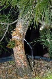 scion plant grafting symposium fusion bonsai