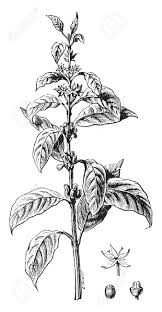 flower encyclopedia twig flower coffee and fruit vintage engraved illustration