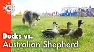 australian shepherd like water ducks vs australian shepherd youtube