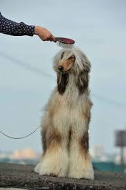afghan hound ottawa afghan fci group 10 sighthounds pinterest afghans and happy