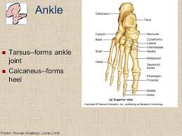 Calcaneus Anatomy Lower Limb Skeleton Homologous With Upper Limb Ppt Video