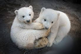 Columbus Zoo Lights Hours by The Columbus Zoo Officially Names Polar Bears Columbus Navigator