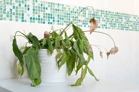 Tropical Plant Diseases - desperate houseplants dealing with common houseplant diseases