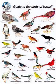 Hawaii Birds images Trying to see all the beautiful birds of hawaii illustrations jpg