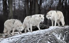 wolf wildlife animals snow wallpapers hd desktop and mobile