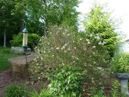 worried about a u0027miss kim u0027 lilac u0026 a kousa dogwood tree ask an