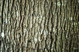 maple tree bark alpine tree care